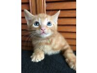 Ginger and black kitten male WEMBLEY