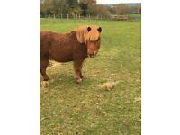 Handsome Mini Shetland ponies for sale to a A** home