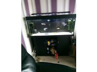 Complete aquarium set up with top quality Malawi haps
