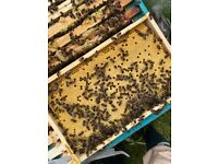Nuc AMM honey bees. Ready to go in poly nuc