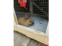 6 month old Female Rabbit with hutch