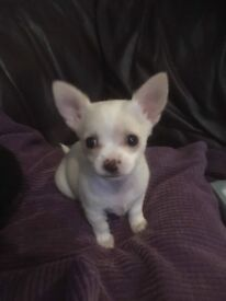 Loving and playful male chihuahua puppy