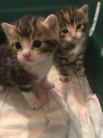 Beautiful healthy vet checked kittens