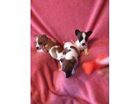 Miniature Jack Russell Puppies 8 weeks