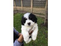 cross bred basset griffon vendeen pups,PUPPIES FOR SALE