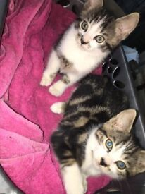 One and half month old kittens