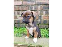 Border Terrier x Jack Russell pups