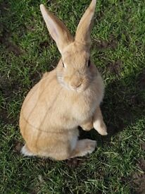 12-week old honey-coloured rabbits looking for forever home(s)