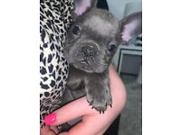 Blue French bulldog Frenchy