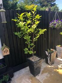 1X 4ft EXTRA LARGE MAGNOLIA SUSAN PLANT TREE - DEEP PINK FLOWERS & POT