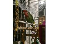 Love bird and cage with food and toys