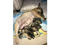 9 Frug puppies for sale £1000 Ono