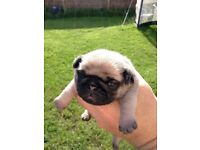 Pug puppies Champion sird