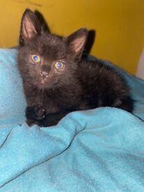 8 weeks old kitten for sale.