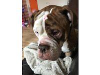 Rehoming American bulldog 3 years old