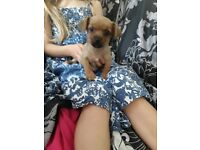 Yorkshire terrier cross chihuahua girl puppy
