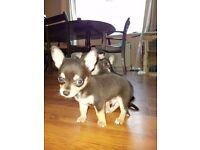 Puppy chihuahuas