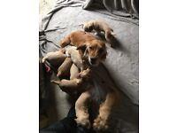 Cocker spaniel Pedigree KC registered puppies for sale