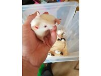 Baby female rats for sale