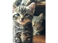 Kittens - ready to go in 2 weeks