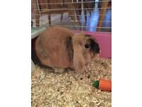 Female lop rabbit- free to good home