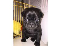 Pug puppy for sale