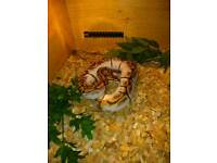 Cb17 royal python