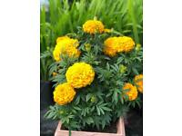 Gold extra large African Marigold plant with planter inclu