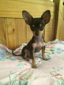 Russian toy terrier puppy for sale more information call