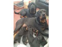 Pedigree Rottweiler Puppies For Sale