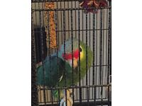 Amazon green parrot for sale