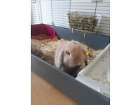 8 Month Male Rabbit