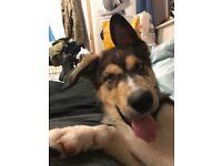 Loki, Husky x German shepherd x Rottweiler puppy for sale