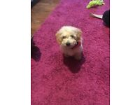 Cockapoo only 2 available ready now