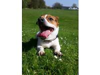 4 year old Jackrussell