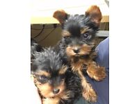 Yorkshire Terrier boy puppies,K/c reg.Vaccinated , micro chipped , wormed, insured, mum,dad , gran,