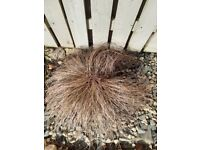 Garden plant - decorative grass Carex comans, bronze