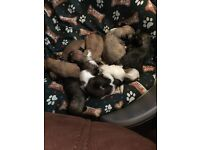 12 week old Kc registered Lhasa apso puppies