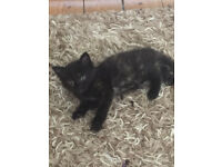 Gorgeous Kitten for sale