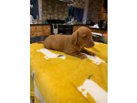 Beautiful Dachshund Pups