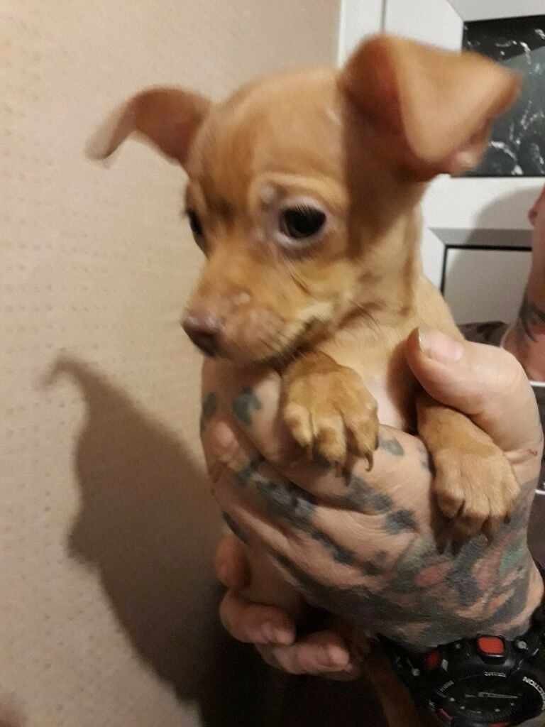 Chihuahua pups for sale £500 each