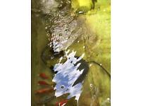 Goldfish/ pond fish and equipment