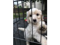 **Beautiful Cockapoo puppies for sale**
