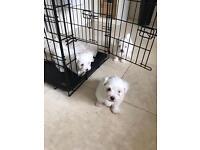 Maltichon pups for sale