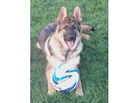 lovely one year old german shepard dog for sale