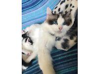 Beautiful cross Ragdoll fluffy kitten