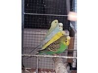 Budgies different colours
