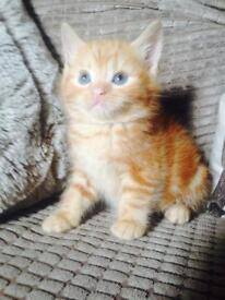 Adorable tiny ginger kitten!