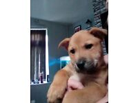 Chow chow cross staff puppies