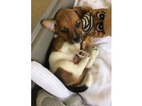 Jack russle puppy 8 weeks old